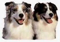 Circle C Australian Shepherds How many dogs d...